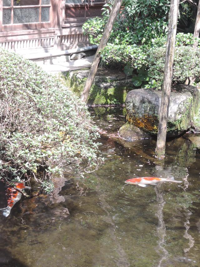 お庭もすばらしく、池には丸々とした鯉が。