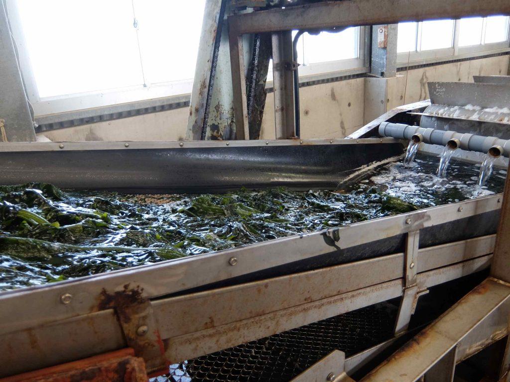 茹で釜はベルトコンベアのようになっています。茹で上ったワカメは今度は海水で冷やされながら流れていきます。
