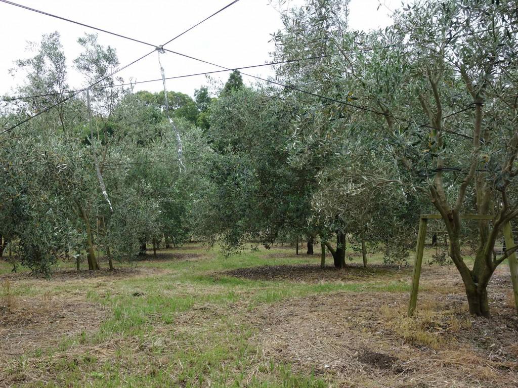 藤田農園さんが7年前に開園したオリーブ農園。耕作放棄地の有効活用として始められたそう。