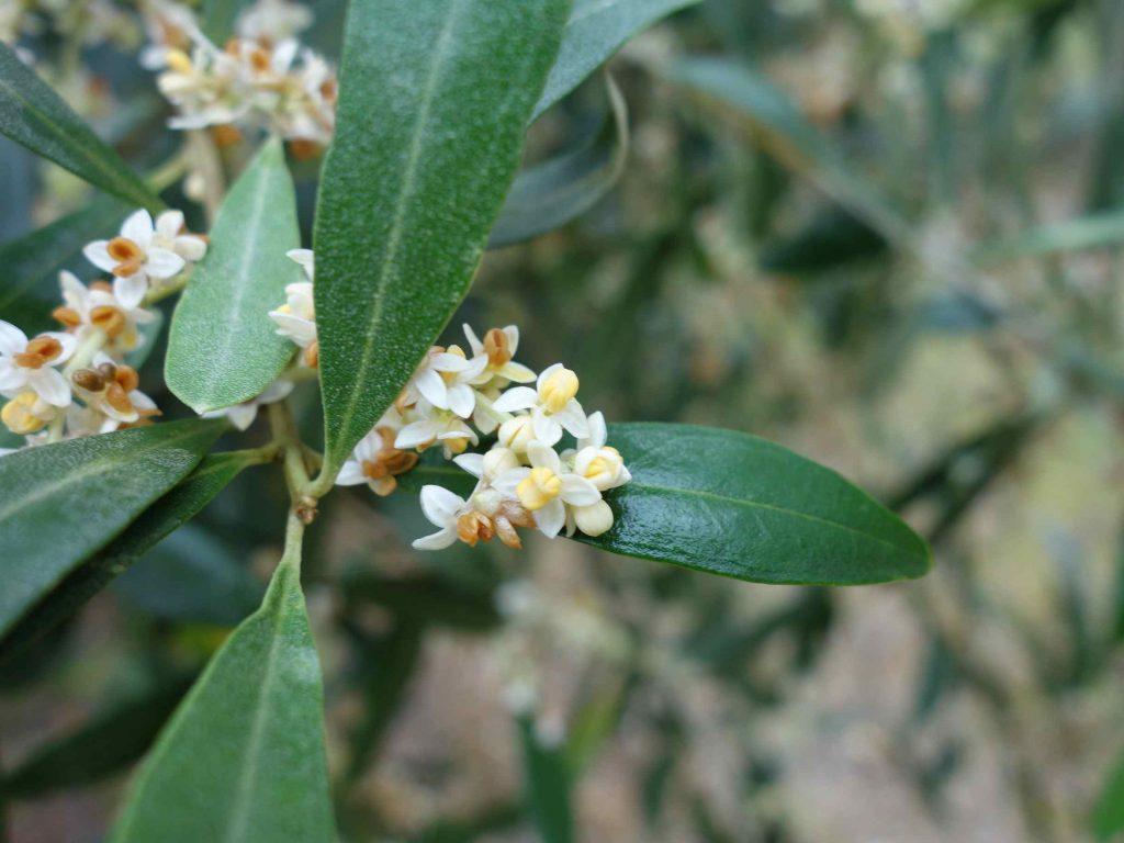 小さくて白いオリーブの花。